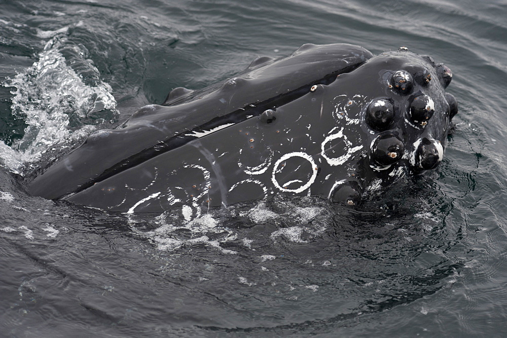 Humpback whale (Megaptera novaeangliae) interacting with Whalewatch boat, Monterey, California, United States of America, North America - 917-486