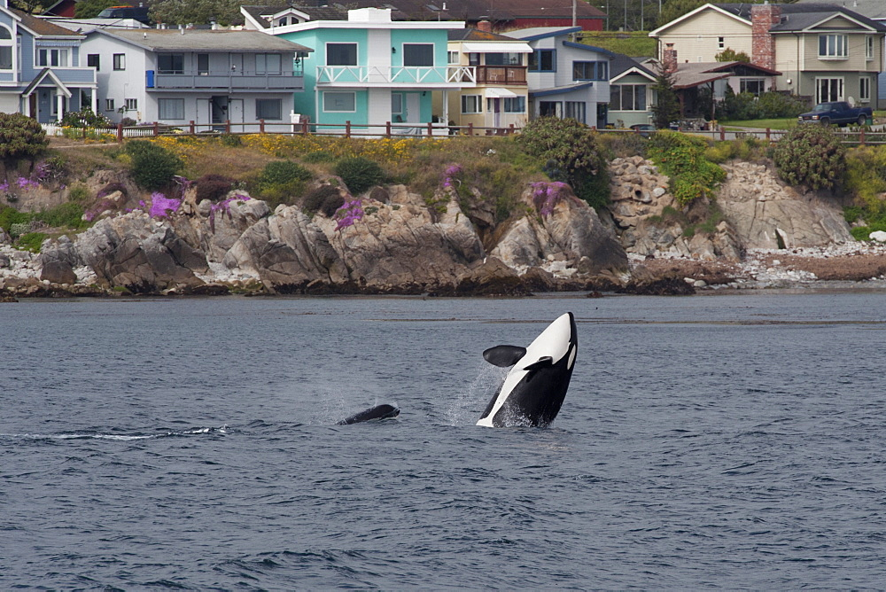 Transient killer whale (orca) (Orcinus orca) breaching in front of houses at Pacific Grove, Monterey, California, Pacific Ocean, United States of America, North America - 917-493