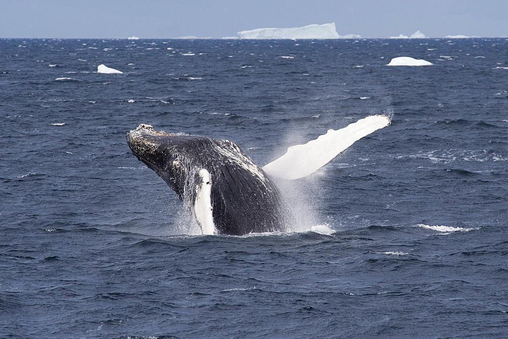 Humpback whale (Megaptera novaeangliae) breaching, Antarctic Peninsula, Antarctica, Polar Regions - 917-515