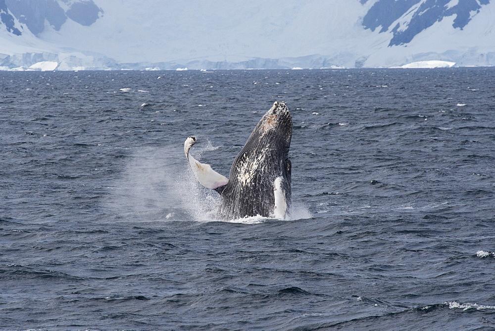 Humpback whale (Megaptera novaeangliae) breaching in front of glacier, Antarctic Peninsula, Antarctica, Polar Regions - 917-517