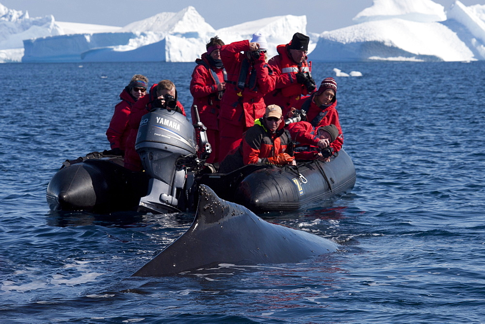 Friendly humpback whale (Megaptera novaeangliae), interacting with tourist zodiac, Antarctic Peninsula, Antarctica, Polar Regions
