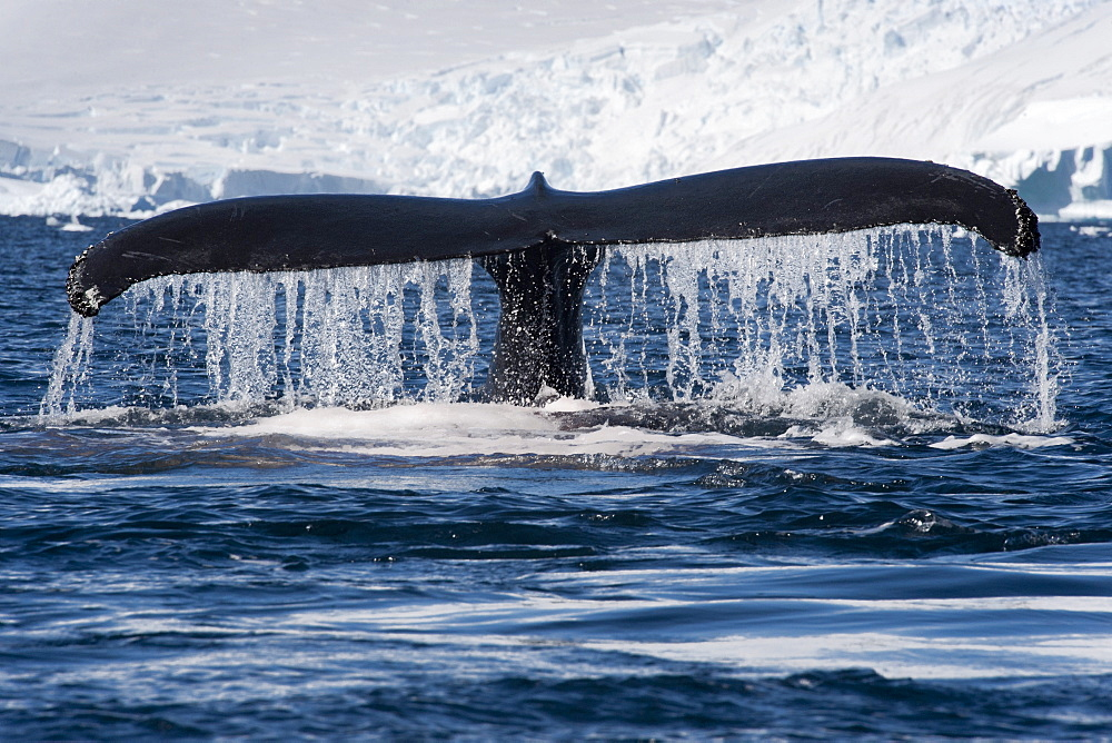 Humpback whale (Megaptera novaeangliae) fluking in front of glacier and mountains, Antarctic Peninsula, Antarctica, Polar Regions - 917-520