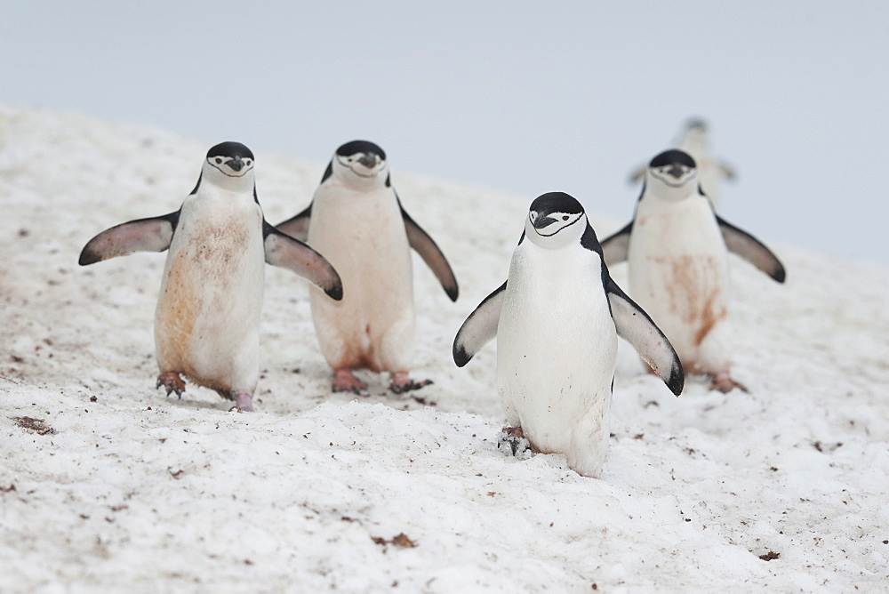 Chinstrap Penguin (Pygoscelis antarcticus) group, Half Moon Island, South Shetland Islands, Antarctica, Polar Regions