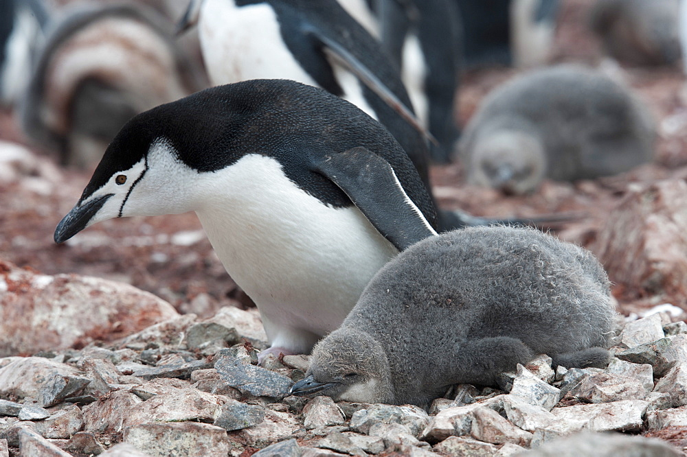 Chinstrap Penguin (Pygoscelis antarcticus) adult and chick, Hannah Point, South Shetland Islands, Antarctica, Polar Regions