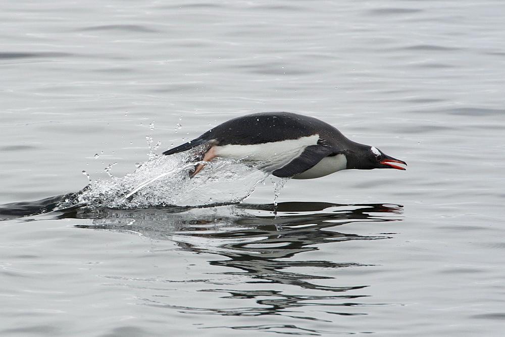 Gentoo penguin (Pygoscelis papua) porpoising, Antarctic Peninsula, Antarctica, Polar Regions  - 917-533