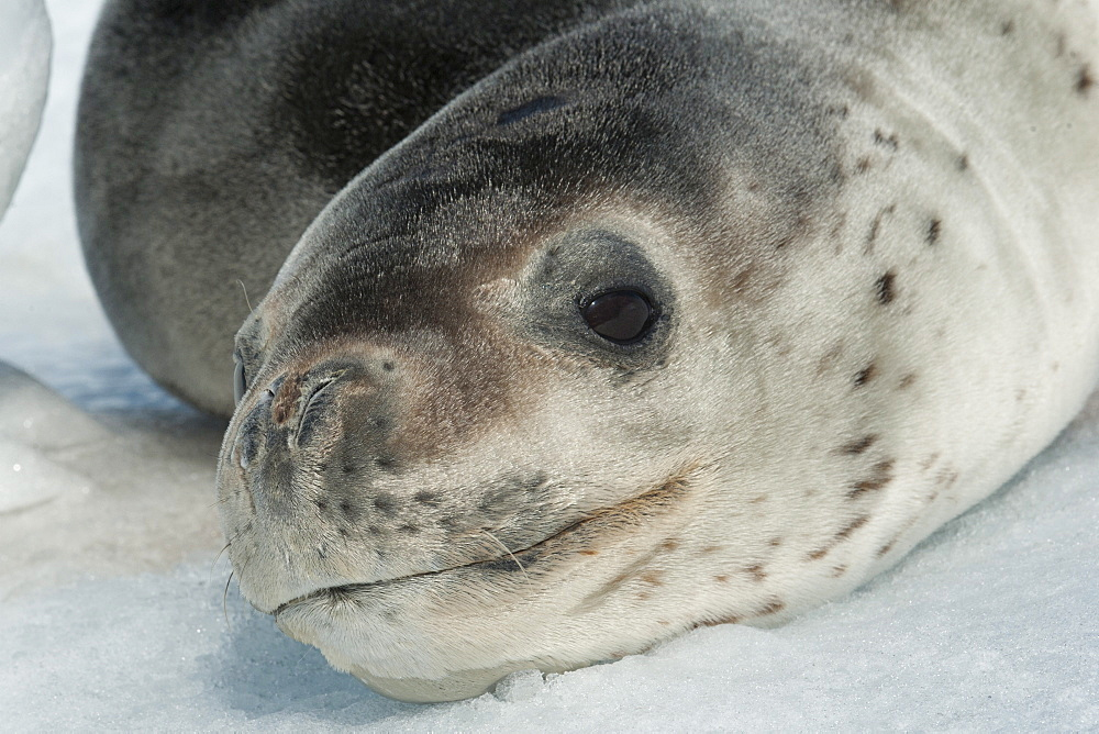 Leopard Seal (Hydrurga leptonyx) resting on iceberg, Pleneau Island, Antarctic Peninsula, Antarctica, Polar Regions  - 917-534