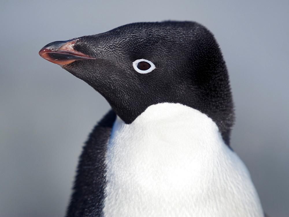 Adelie Penguin (Pygoscelis adeliae) portrait, Petermann Island, Antarctic Peninsula, Antarctica, Polar Regions  - 917-536