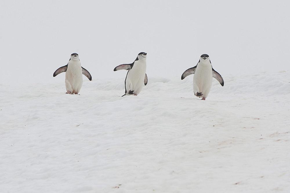 Chinstrap Penguins (Pygoscelis antarcticus), Orne Harbour, Antarctic Peninsula, Antarctica, Polar Regions  - 917-537