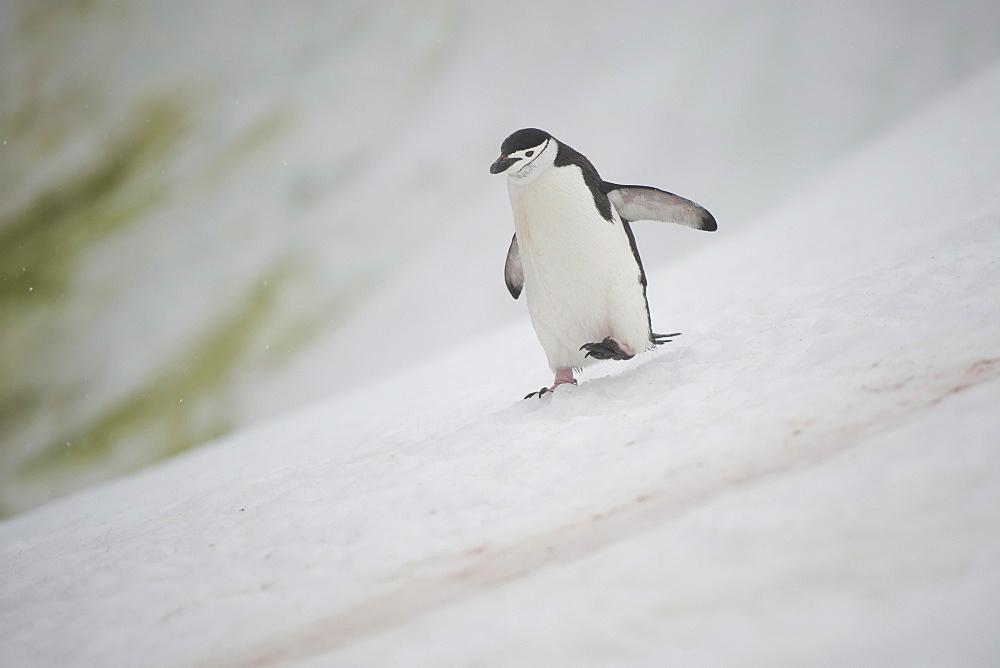 Chinstrap Penguin (Pygoscelis antarcticus), Orne Harbour, Antarctic Peninsula, Antarctica, Polar Regions