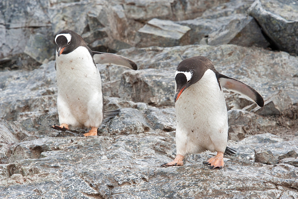 Adult Gentoo penguins (Pygoscelis papua) jumping on rocks, Antarctic Peninsula, Antarctica, Polar Regions  - 917-544