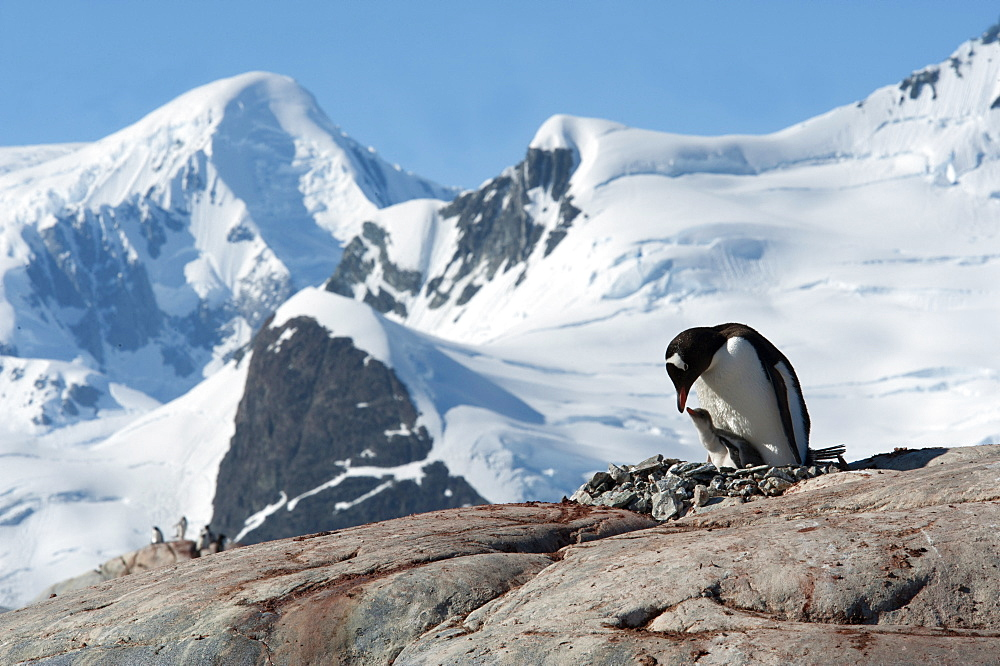 Adult Gentoo penguin (Pygoscelis papua) and chick on nest, with mountains and glaciers in background, Antarctic Peninsula, Antarctica, Polar Regions  - 917-548
