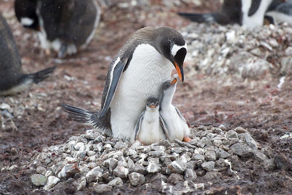 Adult Gentoo penguin (Pygoscelis papua) and chicks on nest, Neko Harbour, Antarctic Peninsula, Antarctica, Polar Regions  - 917-553
