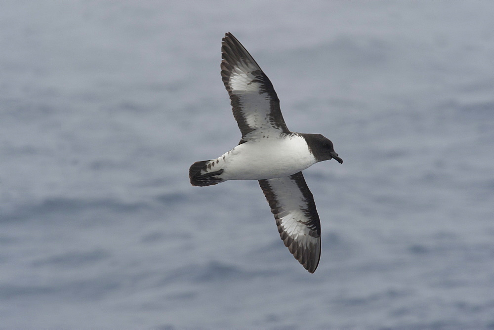 Cape Petrel (Daption capense) soaring in the Drake Passage, Southern Ocean, Antarctica, Polar Regions - 917-556
