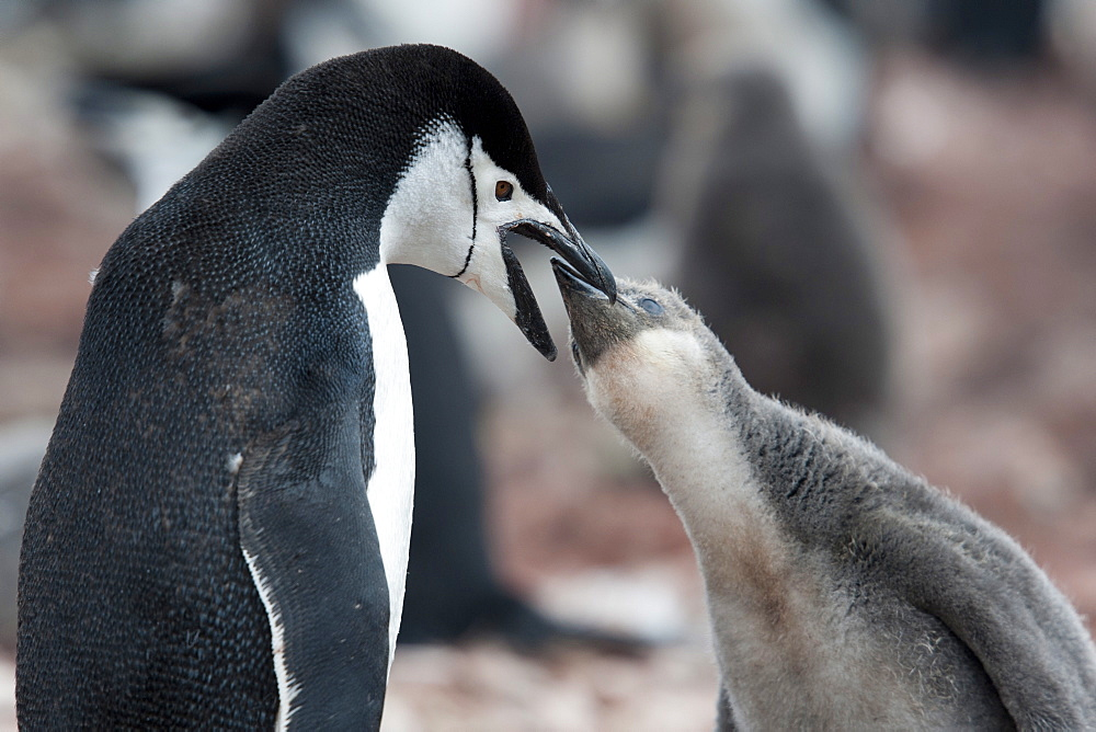 Adult chinstrap penguin (Pygoscelis antarcticus) feeding chick, Neko Harbour, Antarctic Peninsula, Antarctica, Polar Regions