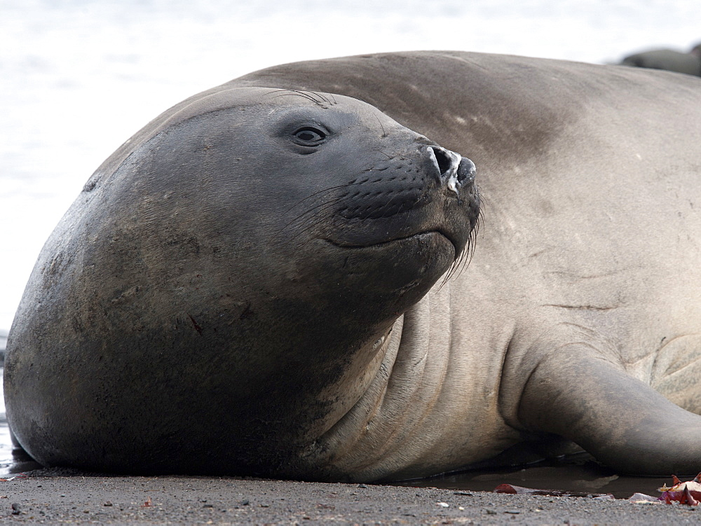 Southern elephant seal (Mirounga leonina) bull, Hannah Point, South Shetland Isles, Antarctica, Polar Regions - 917-560