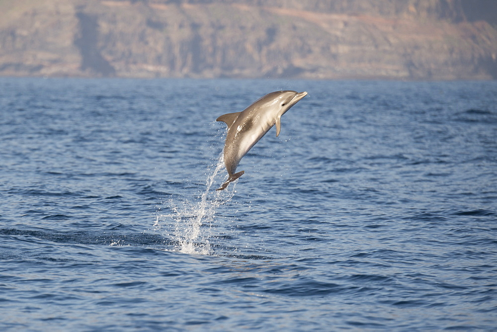 Atlantic spotted dolphin (Stenella frontalis) breaching high in the air, La Gomera, Canary Islands, Atlantic, Spain, Europe - 917-566