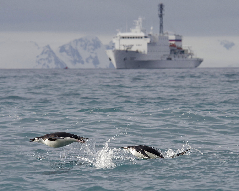 Chinstrap penguins (Pygoscelis antarcticus) porpoising in front of expedition ship, Half Moon Island, South Shetland Islands, Antarctica, Polar Regions - 917-574
