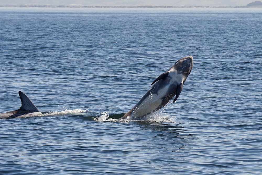 Rissos dolphin (Grampus griseus) breaching, Monterey, California, United States of America, North America - 917-586