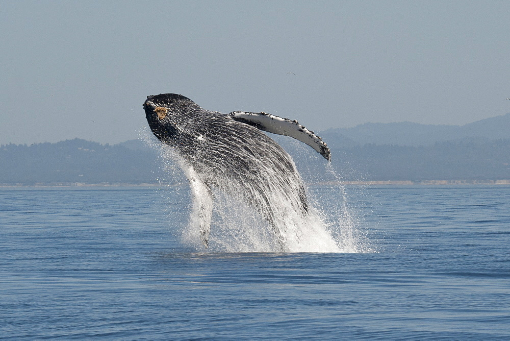 Humpback whale (Megaptera novaeangliae) adult breaching high in the air, Monterey, California, United States of America, North America - 917-587