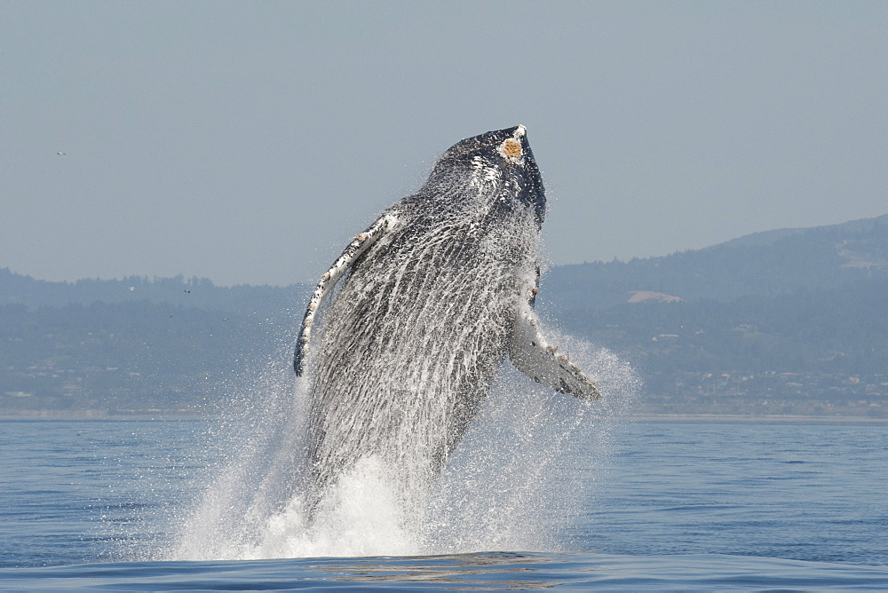 Humpback whale (Megaptera novaeangliae) adult breaching high in the air, Monterey, California, United States of America, North America - 917-588