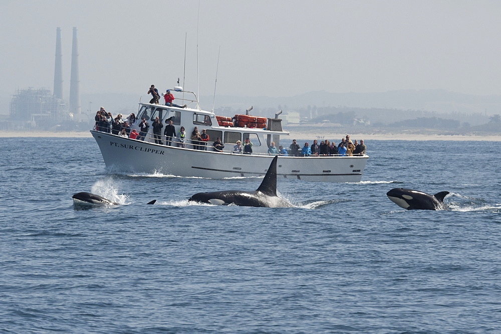 Male, female and calf transient killer whale (Biggs killer whale) (Orca) (Orcinus orca) surfacing in front of boat in the Pacific Ocean, Monterey, California, United States of America, North America