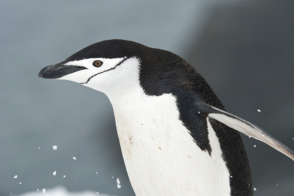 Chinstrap Penguin portrait, Pygoscelis antarcticus, Half Moon Island, South Shetland Islands - 917-592