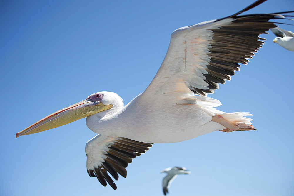 Great White Pelican, Pelecanus onocrotalus, also known as the Eastern White Pelican, Rosy Pelican, flying, Walvis Bay, Namibia