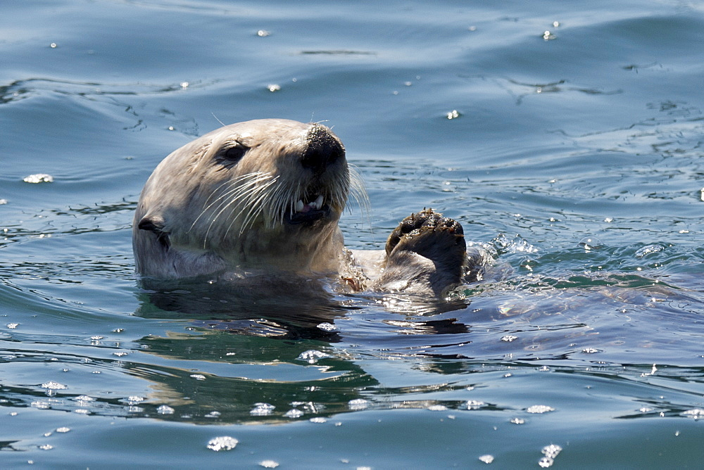 California Sea Otter, Enhydra lutris, eating shellfish off of its belly, Monterey, California, Pacific Ocean