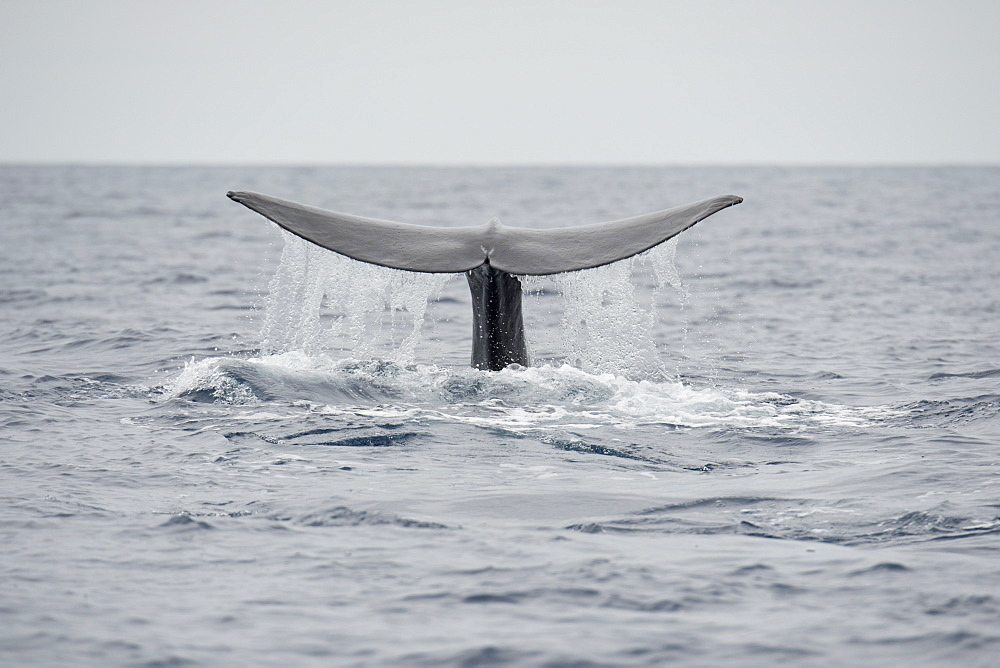 Sperm Whale, Physeter macrocephalus, fluking or diving at the surface, Azores, Atlantic Ocean - 917-606