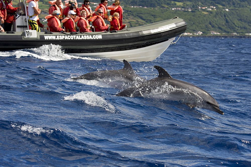 Tourists watch Atlantic Spotted Dolphins, Stenella frontalis, during a Whale-Watching trip, Azores, Atlantic Ocean - 917-611