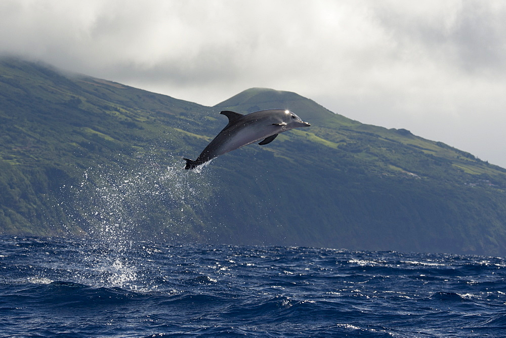 Atlantic Spotted Dolphin, Stenella frontalis, breaching high in the air, with Pico in the background, Azores, Atlantic Ocean - 917-612