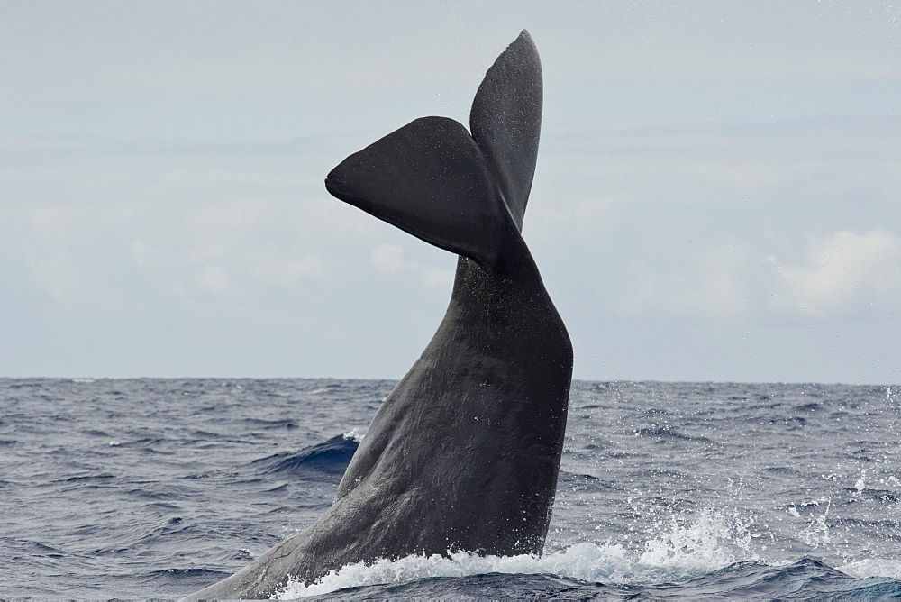 Sperm Whale, Physeter macrocephalus, lob-tailing at the surface, Azores, Atlantic Ocean