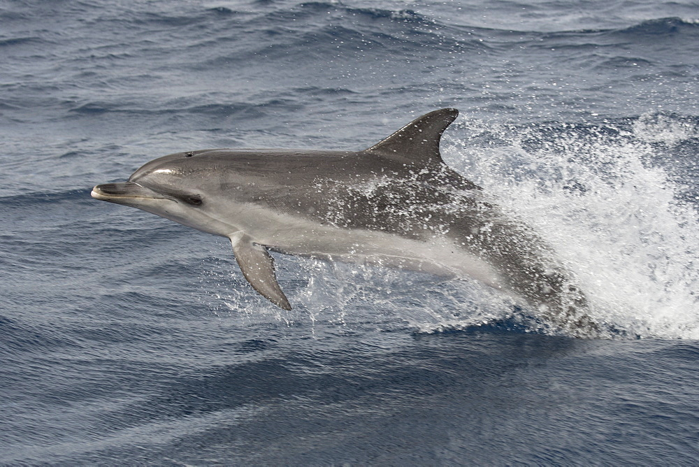 Atlantic Spotted Dolphin, Stenella frontalis, porpoising at 18 knots, Azores, Atlantic Ocean