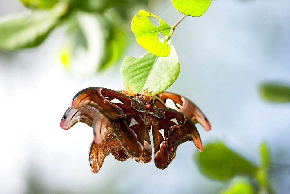 Atlas moth (Attacus atlas) mating. Balikpapan Bay, East Kalimantan, Borneo, Indonesia, Southeast Asia, Asia - 918-15