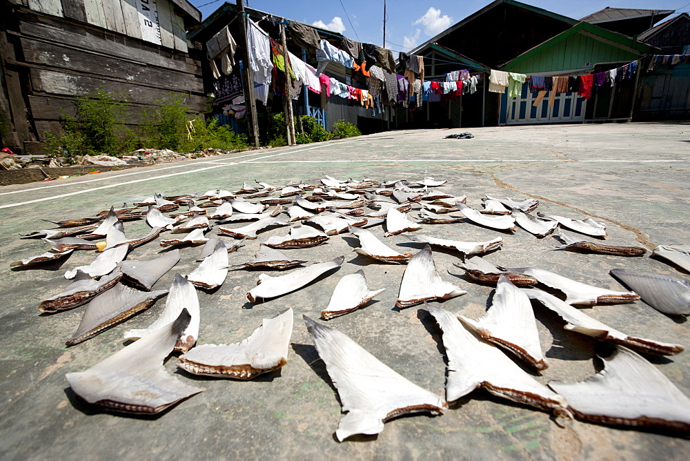 Shark fins being dried on a playground in the village. Balikpapan suburb, East Kalimantan, Borneo, Indonesia, Southeast Asia, Asia - 918-17