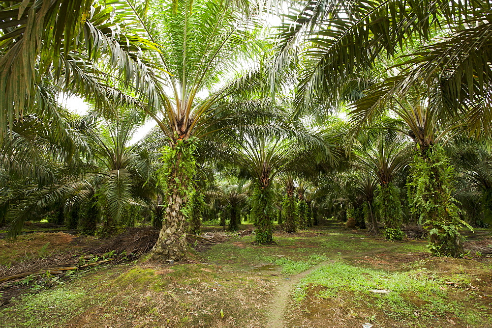 African oil palm (Elaeis guineensis) in an oil palm plantation, East Kutai Regency, East Kalimantan, Borneo, Indonesia, Southeast Asia, Asia - 918-27