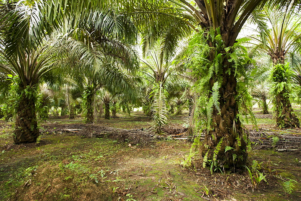 African oil palm (Elaeis guineensis) in an oil palm plantation, East Kutai Regency, East Kalimantan, Borneo, Indonesia, Southeast Asia, Asia - 918-28