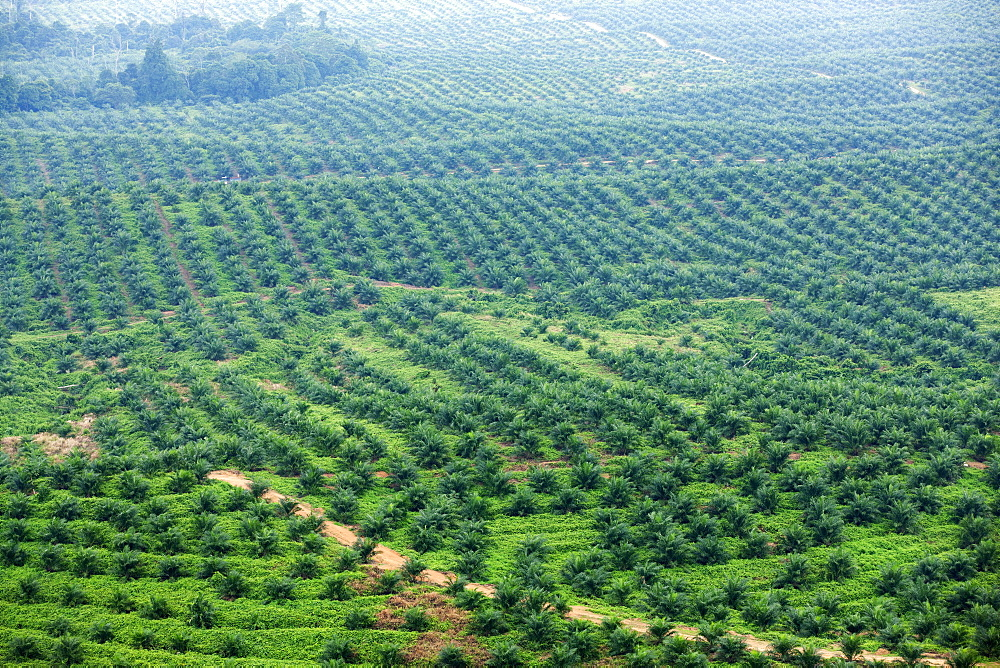 African oil palm (Elaeis guineensis) plantations, Kengbeng, East Kutai Regency, East Kalimantan, Borneo, Indonesia, Southeast Asia, Asia - 918-30