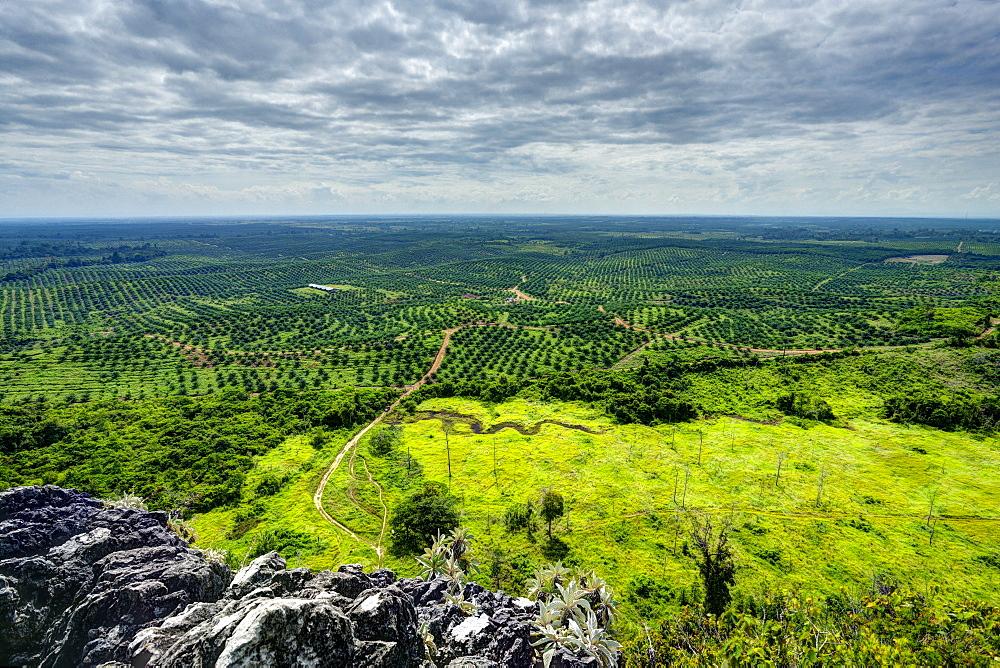 Vast area of oil palm plantations. HDR photo. Kengbeng, East Kutai Regency, East Kalimantan, Borneo, Indonesia, Southeast Asia, Asia