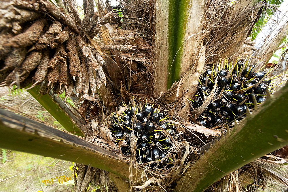 Fruit of African oil palm (Elaeis guineensis), East Kalimantan, Borneo, Indonesia, Southeast Asia, Asia - 918-35