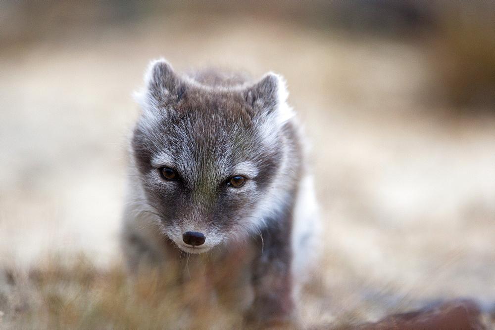 Arctic Fox (Vulpes lagopus) (Alopex lagopus), Svalbard, Norway, Scandinavia, Europe - 918-38