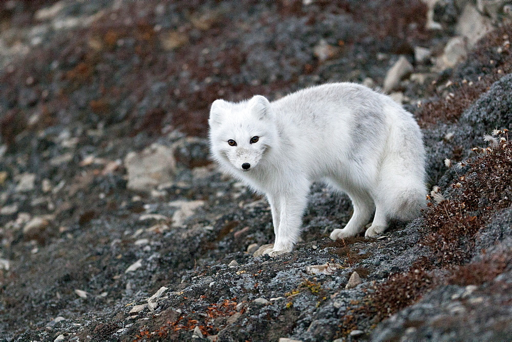Arctic Fox (Vulpes lagopus) (Alopex lagopus), Svalbard, Norway, Scandinavia, Europe - 918-39