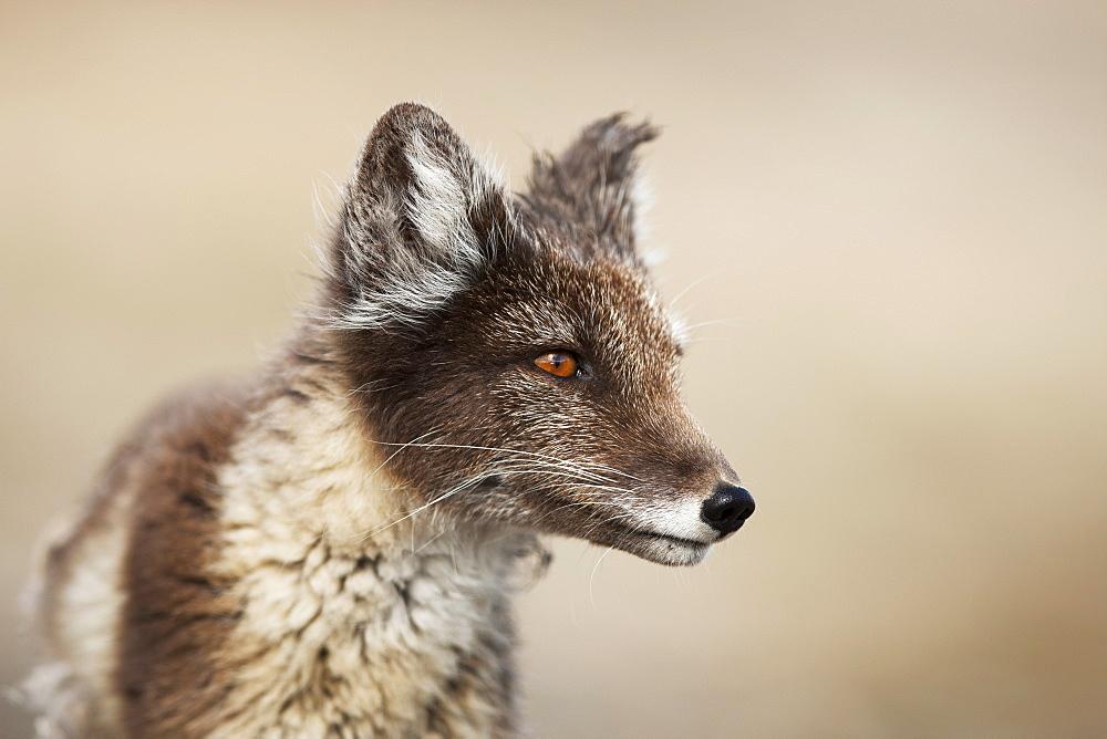 Arctic Fox (Vulpes lagopus) (Alopex lagopus), Svalbard, Norway, Scandinavia, Europe - 918-41