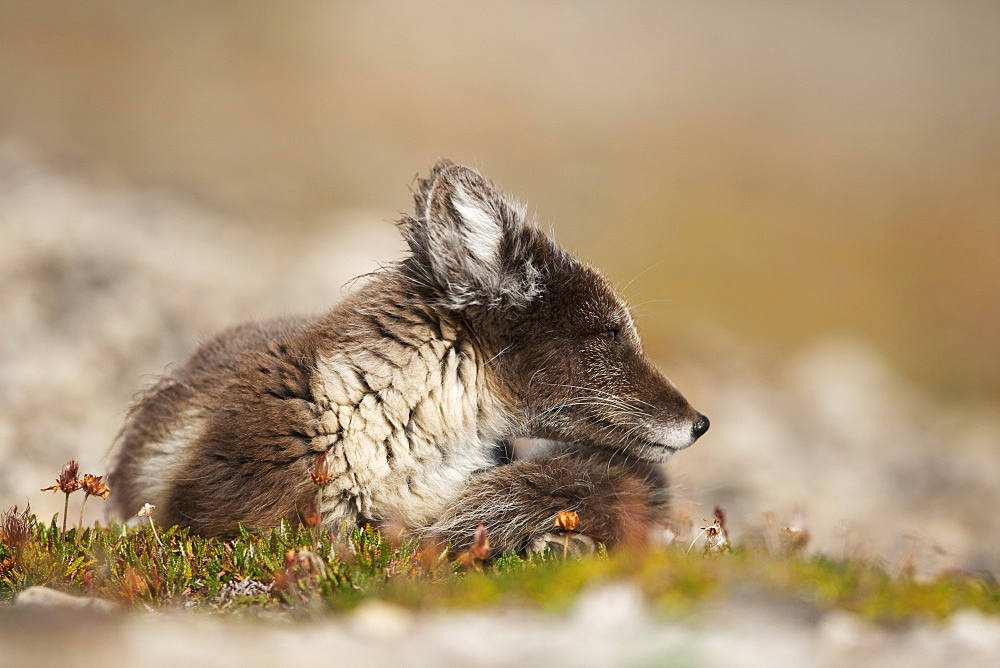 Arctic Fox (Vulpes lagopus) (Alopex lagopus), Svalbard, Norway, Scandinavia, Europe - 918-42