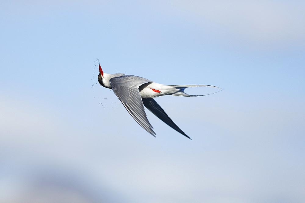 Arctic Tern (Sterna paradisaea), Svalbard, Norway, Scandinavia, Europe - 918-45