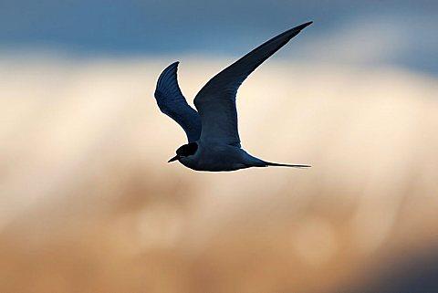 Arctic Tern (Sterna paradisaea), Svalbard, Norway - 918-46