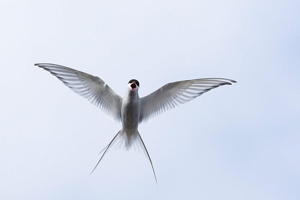 Arctic Tern (Sterna paradisaea), Svalbard, Norway, Scandinavia, Europe - 918-47