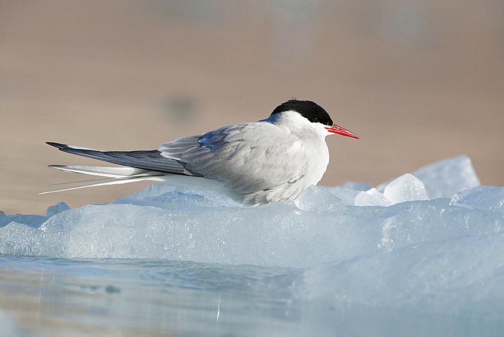 Arctic Tern (Sterna paradisaea), Svalbard, Norway, Scandinavia, Europe - 918-48