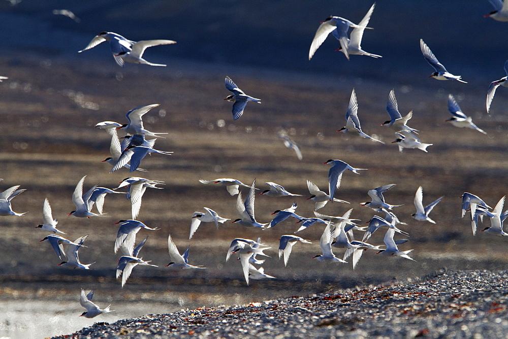 Arctic Tern (Sterna paradisaea), Svalbard, Norway, Scandinavia, Europe - 918-49