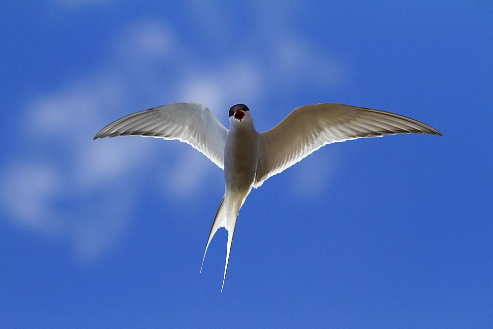 Arctic Tern (Sterna paradisaea), Svalbard, Norway, Scandinavia, Europe - 918-51